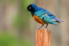 Starling superbo variopinto, Samburu, Kenia Immagini Stock Libere da Diritti