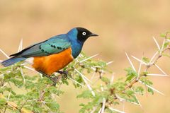 Starling superbo variopinto, Samburu, Kenia Fotografia Stock Libera da Diritti
