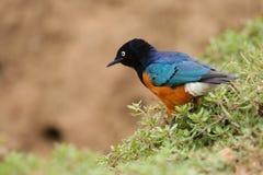 Starling superbo variopinto, Samburu, Kenia Immagine Stock