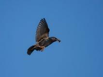 Starling tijdens de vlucht Stock Afbeelding