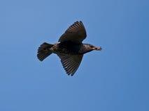 Starling tijdens de vlucht Stock Foto's
