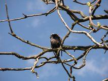 Starling on a tree stock images