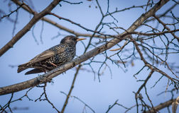 Starling on the tree. Royalty Free Stock Photos