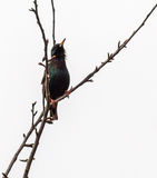 Starling on a tree branch. Royalty Free Stock Images
