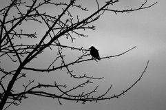 Starling on a tree branch. Stock Photos