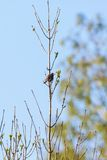 Starling in a tree Royalty Free Stock Photography