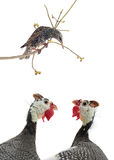 Starling and two portrait Guinea fowl Stock Photos