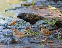 Starling und Spatzen Stockfotos