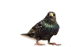 Starling. It is a usual wild bird stock photo