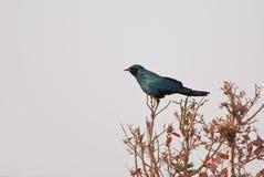 Starling van Burchell Royalty-vrije Stock Afbeeldingen