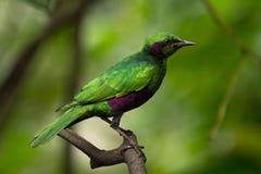 Starling verde Fotografia Stock