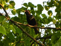Starling ving de rupsband Mooie vogel op een de zomerdag Details en close-up stock fotografie