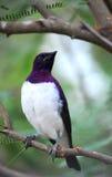 Starling Viola-di appoggio Fotografia Stock Libera da Diritti