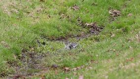 Starling (vulgaris die Sturnus) in een stroom in de lente bespatten stock videobeelden