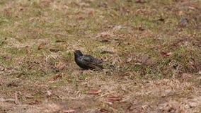 Starling (vulgaris die Sturnus) voedsel onder het droge gras in de vroege lente zoeken stock videobeelden