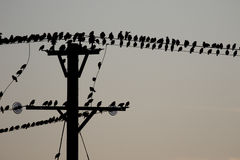 Starling, Vulgaris Sturnus Stock Fotografie
