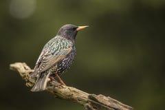 Starling, Vulgaris Sturnus Gemeenschappelijke vogel in grote troepen stock afbeeldingen
