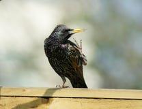 Starling, vulgaris sturnus, (niet meer foto's tevreden! Royalty-vrije Stock Afbeeldingen
