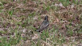 Starling (vulgaris Sturnus) verzamelt droog gras voor de nestbouw stock videobeelden