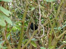 Starling in the wilds of bushes ... stock image