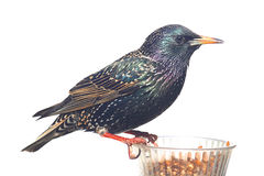 Starling In Winter Stock Photos