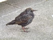 Starling in winter plumage in Northumberland Royalty Free Stock Photography