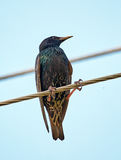 Starling on a wire. Common starling Sturnus Vulgaris perched on a wire Royalty Free Stock Photo