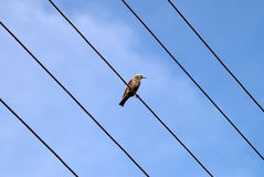 Starling on wires Royalty Free Stock Photos