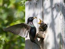 Starling Zufuhr sein Nestling stockfoto