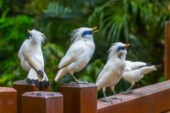 Starlings Бали Стоковое Изображение