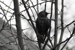 Starlings весны Стоковая Фотография RF
