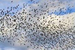 Starlings в небе с облаками Стоковые Фотографии RF