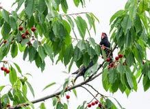 Starlings едят сбор сладостной вишни Аграрный бич Стоковая Фотография