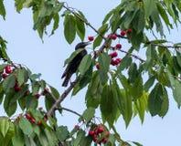 Starlings едят сбор сладостной вишни Стоковые Фотографии RF