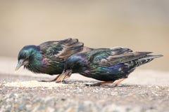 2 starlings есть еду или сидя на кирпичной стене Стоковые Фото