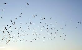 Starlings летая на сумрак Стоковые Изображения RF