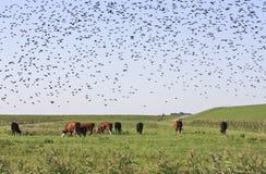 Starlings и коровы в ландшафте Groninger, Голландия Стоковое фото RF
