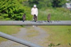 3 Starlings и человека Стоковые Изображения