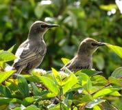 Starlings младенца Стоковые Изображения