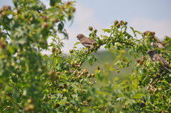 Starlings на боярышнике Стоковая Фотография RF