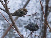 2 starlings на ветви дерева Стоковое Фото
