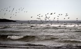 Starlings на пляже океана Стоковая Фотография RF