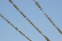Starlings на проводах Стоковая Фотография