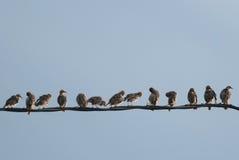 Starlings на проводе Стоковое Изображение RF