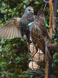Starlings на фидере птицы стоковые фотографии rf