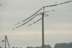 Starlings на электрических проводах Стоковое фото RF