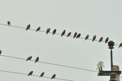 Starlings на электрических проводах Стоковая Фотография RF