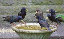 Starlings подавая на ванне птицы Стоковое Изображение