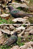 Starlings птиц Стоковая Фотография RF