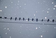 Starlings садить на насест на проводе Стоковые Фотографии RF